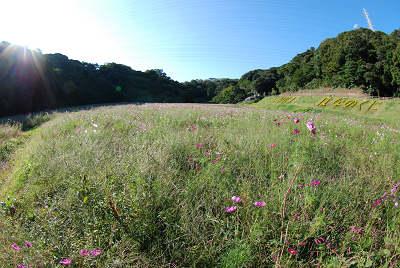 くりはま花の国公園~コスモス編_c0135079_20192792.jpg
