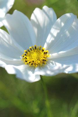 くりはま花の国公園~コスモス編_c0135079_20193236.jpg