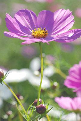 くりはま花の国公園~コスモス編_c0135079_20193786.jpg