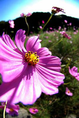 くりはま花の国公園~コスモス編_c0135079_20194276.jpg