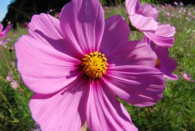 くりはま花の国公園~コスモス編_c0135079_20194638.jpg