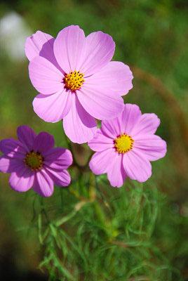 くりはま花の国公園~コスモス編_c0135079_20201268.jpg