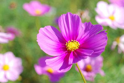 くりはま花の国公園~コスモス編_c0135079_2020314.jpg
