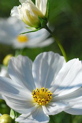 くりはま花の国公園~コスモス編_c0135079_2020744.jpg