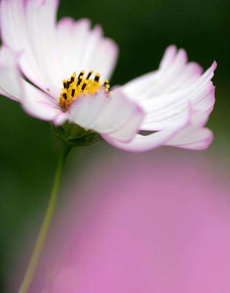 秋桜   - in reverie -_b0067789_21505450.jpg