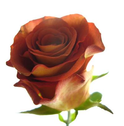 薔薇---レオニダス_f0105054_11173115.jpg