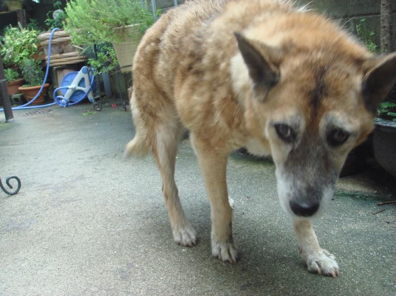 老犬ポロ川に落ちる_c0108460_1156155.jpg