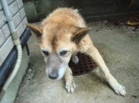 老犬ポロ川に落ちる_c0108460_1156412.jpg