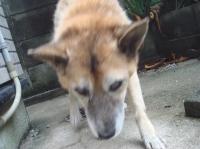 老犬ポロ川に落ちる_c0108460_1159269.jpg