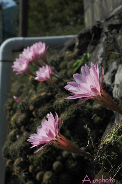サボテンの花_e0127416_1691725.jpg