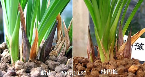 ◆「桂円梅」と「鶴市」の花芽の色の違い、。    No.138_d0103457_0345920.jpg
