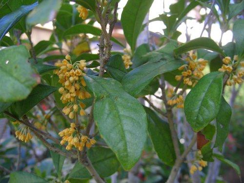 金木犀の花が咲きました_d0030373_15481797.jpg