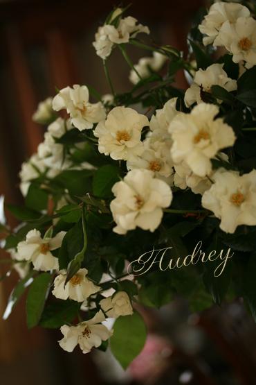 オードリーという名のバラ_f0127281_21512184.jpg