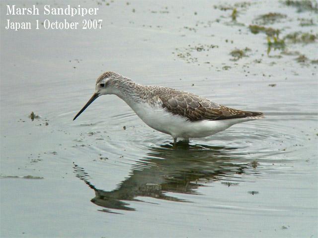 コアオアシシギ2 Marsh Sandpiper2 / Tringa stagnatilis_c0071489_0392894.jpg