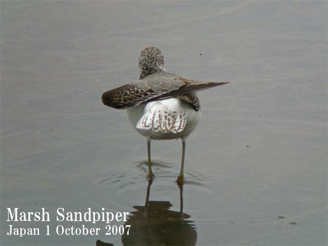 コアオアシシギ2 Marsh Sandpiper2 / Tringa stagnatilis_c0071489_0395719.jpg