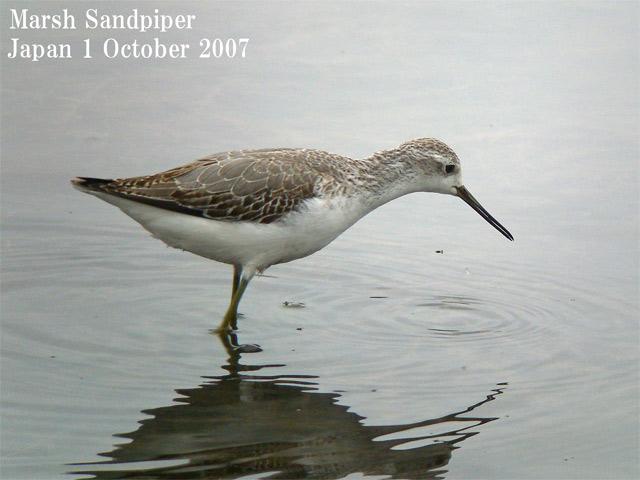 コアオアシシギ2 Marsh Sandpiper2 / Tringa stagnatilis_c0071489_039692.jpg