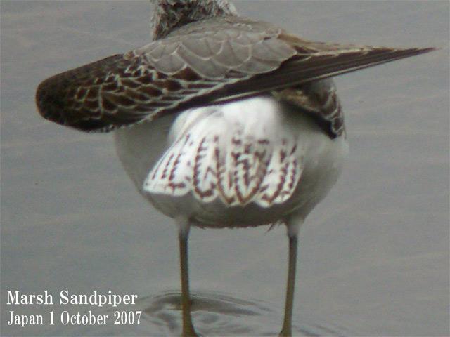 コアオアシシギ2 Marsh Sandpiper2 / Tringa stagnatilis_c0071489_0403919.jpg