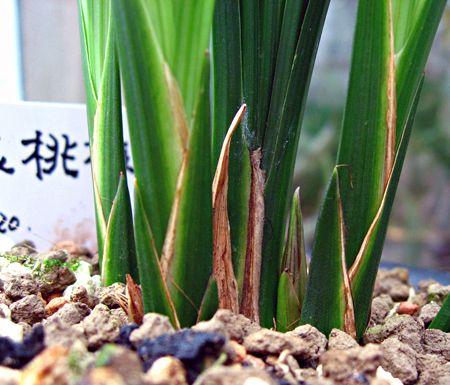 ◆中国奥地蘭・春剣蘭「玉桃梅」の花芽      No.140_d0103457_183165.jpg