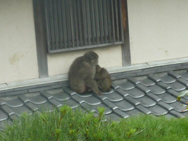 猿がきてます_c0100865_5533712.jpg