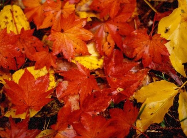 Autumn leaves_c0118634_20513165.jpg