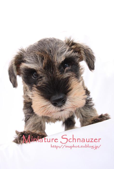 Miniature Schnauzer_d0101050_21194881.jpg