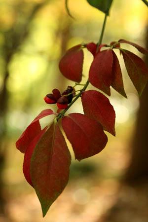 ニシキギの紅い実と、ハナミズキの紅い実_f0030085_1146129.jpg