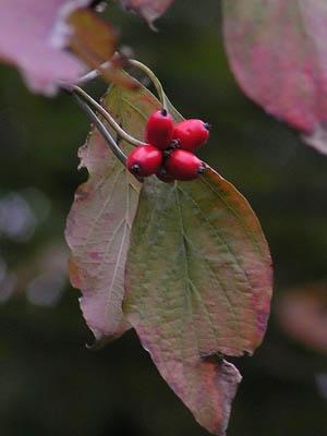ニシキギの紅い実と、ハナミズキの紅い実_f0030085_11545212.jpg