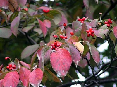 ニシキギの紅い実と、ハナミズキの紅い実_f0030085_11553100.jpg