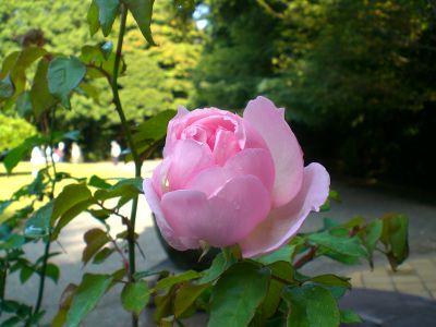 秋薔薇の季節。_a0094959_22562424.jpg