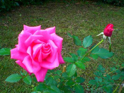 秋薔薇の季節。_a0094959_2335059.jpg