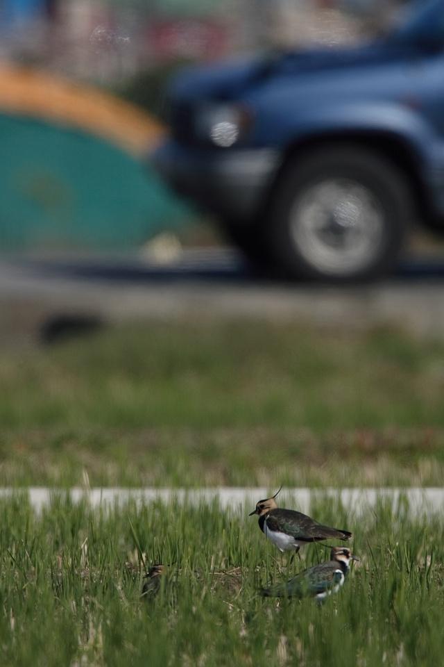 冬鳥続々到着 タゲリ_d0031745_1443069.jpg
