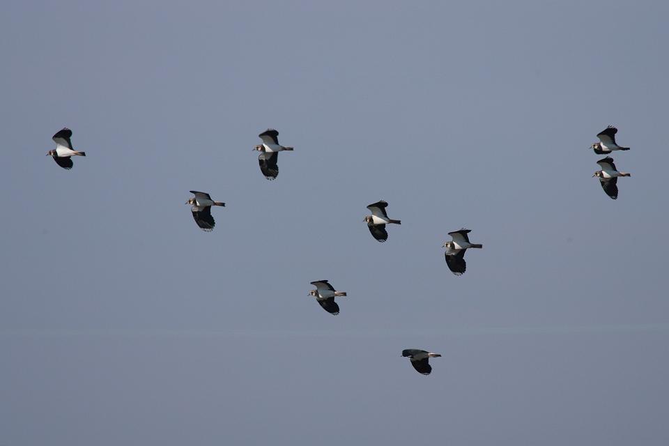 冬鳥続々到着 タゲリ_d0031745_1449189.jpg