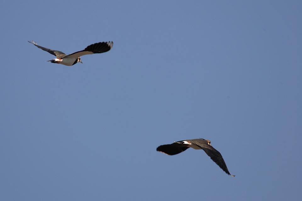 冬鳥続々到着 タゲリ_d0031745_14501015.jpg