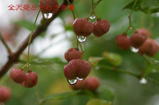 雨の兼六園 マユミの実_d0043136_0464274.jpg
