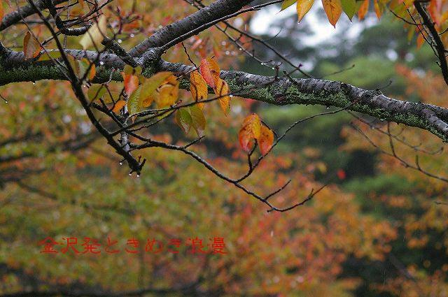 雨の兼六園 マユミの実_d0043136_047582.jpg