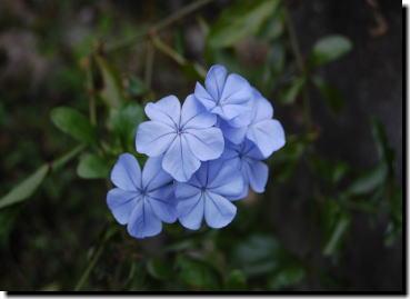 11月4日プルーの花