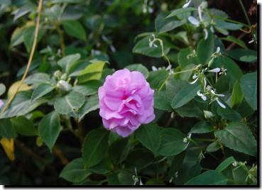 11月4日ピンクの花