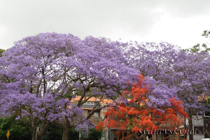 Jacaranda in the rain_f0084337_19283942.jpg