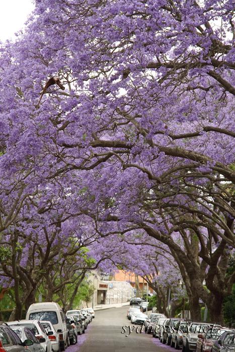 Jacaranda in the rain_f0084337_19291477.jpg