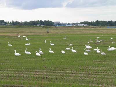 瓢湖の白鳥_f0108797_8441498.jpg