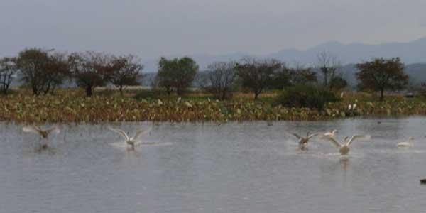 瓢湖の白鳥_f0108797_8533050.jpg