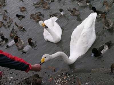 瓢湖の白鳥_f0108797_8593414.jpg