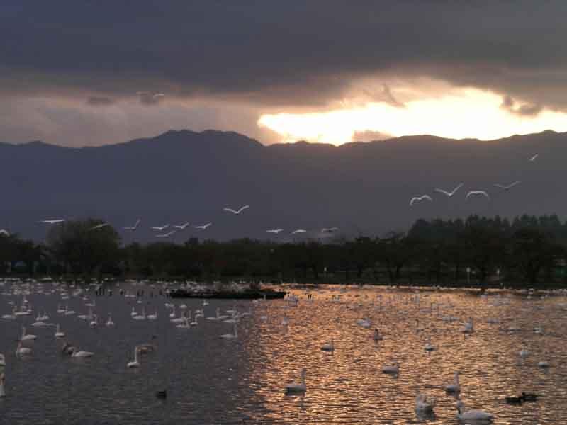 瓢湖の白鳥_f0108797_9115096.jpg