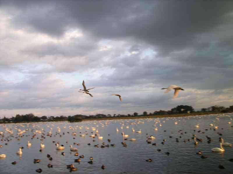 瓢湖の白鳥_f0108797_9254762.jpg