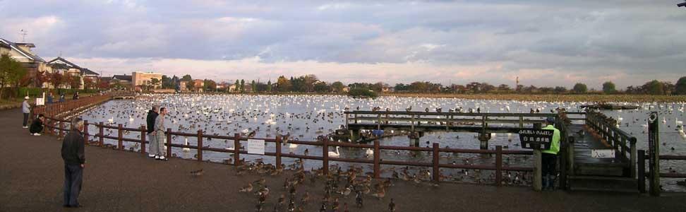 瓢湖の白鳥_f0108797_972134.jpg