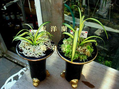 ◆日本春蘭・柄物「金閣宝」の植え込み、。     No.149_d0103457_030507.jpg