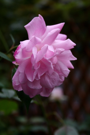 今日咲いたバラから。_d0000274_15311737.jpg