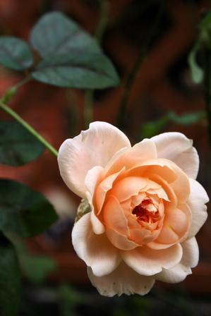 今日咲いたバラから。_d0000274_158123.jpg