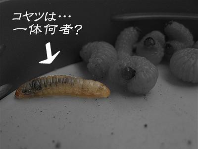 ドングリ虫?