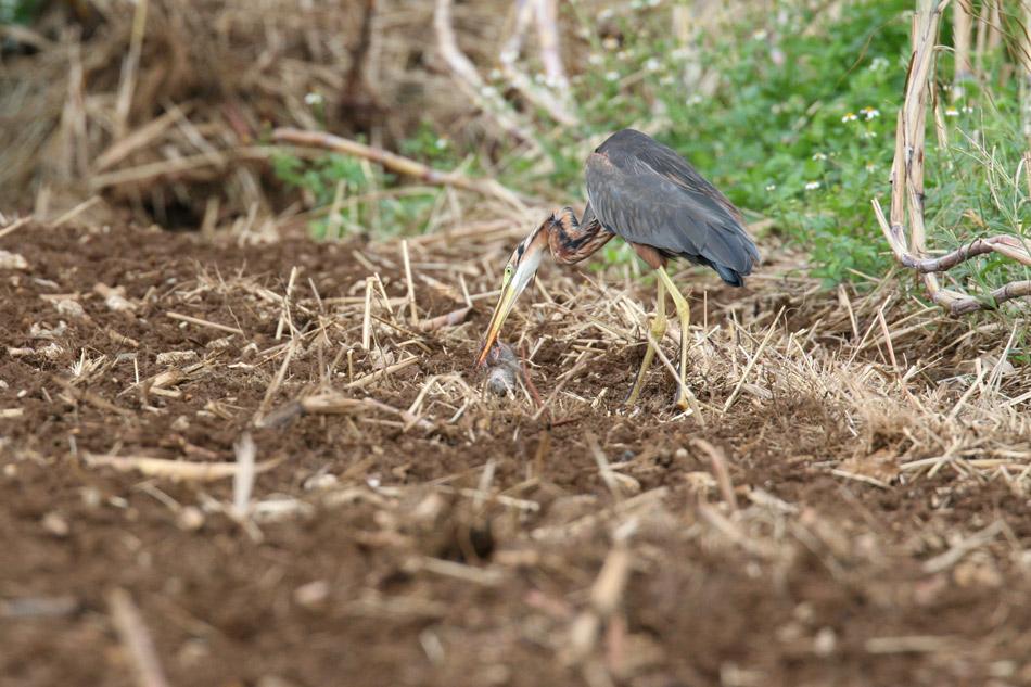 石垣島その他の鳥-1_d0013455_7271591.jpg
